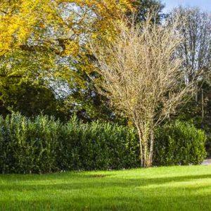 Fully-grown-hedges-ireland-13