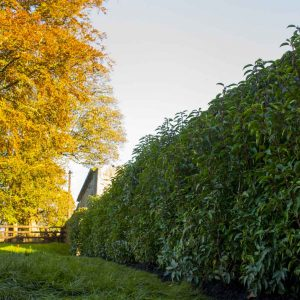 Fully-grown-hedges-ireland-14