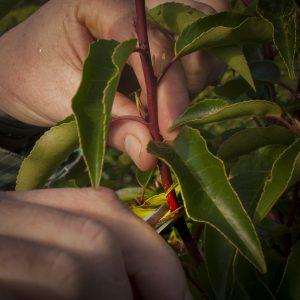 Fully-grown-hedges-ireland-2