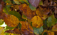 beech-hedges-ireland16
