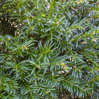 common-yew-1