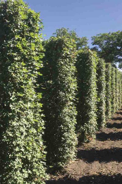 hedge-nursery-1